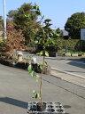 キミノバンジロウ 0.8m12cmポット 8本セット 送料無料【1年間枯れ保証】【葉や形を楽しむ木】