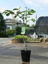 【1年間枯れ保証】【秋に収穫する果樹】カボス/大分1号 15cmポット