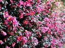 【1年間枯れ保証】【生垣樹木】サザンカ/タチカン赤花 0.3...