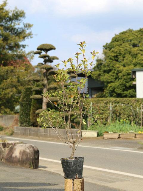 【1年間枯れ保証】【生垣樹木】サザンカ/タチカ...の紹介画像2