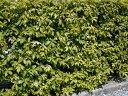 【1年間枯れ保証】【シンボルツリー常緑】シラカシ株立ち 1.7m露地 【あす楽対応】