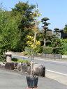 サニーフォスター 0.8m15cmポット 1本【1年間枯れ保証】【生垣樹木】