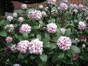 【1年間枯れ保証】【春に花が咲く木】ジンチョウゲ 0.1m10.5cmポット 【あす楽対応】