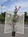 【1年間枯れ保証】【シンボルツリー落葉】サルスベリ単木 1....