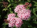 【1年間枯れ保証】【夏に花が咲く木】シモツケ 0.2m 【あす楽対応】