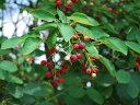【1年間枯れ保証】【紅葉が美しい木】ジューンベリー 0.3m 【あす楽対応】