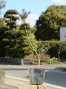 ジューンベリー 0.3m10.5cmポット 1本【1年間枯れ保証】【紅葉が美しい木】