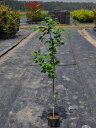 【1年間枯れ保証】【紅葉が美しい木】ジューンベリー 0.6m9.0cmポット 【あす楽対応】