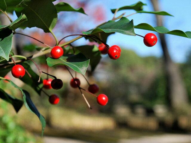 【1年間枯れ保証】【シンボルツリー常緑】ソヨゴ単木 2.5m露地 【配達指定不可/大型商品/個別送料2800円】 葉から音がする