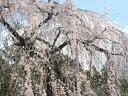 【1年間枯れ保証】【シンボルツリー落葉】サクラ/シダレザクラ 2.5m露地 【配達指定不可/大型商品