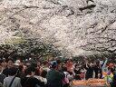 【1年間枯れ保証】【街路樹&公園樹】サクラ/ソメイヨシノ 1.5m18cmポット 【あす楽対応】