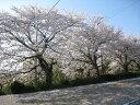 【6か月枯れ保証】【街路樹&公園樹】サクラ/ソメイヨシノ 2.0m 10本セット 送料無料 【あす楽対応】