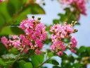 【1年間枯れ保証】【夏に花が咲く木】イッサイサルスベリ 0.3m 【あす楽対応】