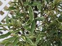 【1年間枯れ保証】【葉や形を楽しむ木】斑入りサカキ 1.2m 【あす楽対応】