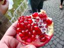 【1年間枯れ保証】【秋に収穫する果樹】ザクロ/実生 15cmポット  【あす楽対応】