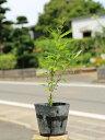 ザクロ/実生 0.2m10.5cmポット  1本【1年間枯れ保証】【葉や形を楽しむ木】