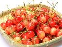 【1年間枯れ保証】【春・夏に収穫する果樹】サクランボ/佐藤錦 15cmポット  【あす楽対応】