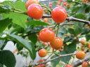 【1年間枯れ保証】【春・夏に収穫する果樹】サクランボ/暖地さくらんぼ 15cmポット