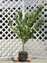 サクランボ/暖地さくらんぼ 1.2m露地 1本【1年間枯れ保証】【葉や形を楽しむ木】