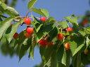 【1年間枯れ保証】【春・夏に収穫する果樹】サクランボ/ナポレオン 15cmポット  3本セット 送料無料
