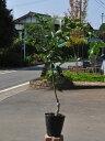 スダチ/小核系 15cmポット  1本【1年間枯れ保証】【秋に収穫する果樹】