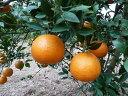 【1年間枯れ保証】【冬に収穫する果樹】雑柑/タンカン名護紅早生 15cmポット  【あす楽対応】