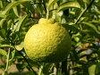 【1年間枯れ保証】【冬に収穫する果樹】雑柑/三宝柑 15cmポット  5本セット 送料無料 【あす楽対応】