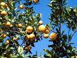 【1年間枯れ保証】【冬に収穫する果樹】雑柑/弓削瓢柑 15cmポット  5本セット 送料無料 【あす楽対応】