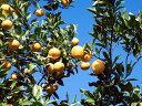 【1年間枯れ保証】【冬に収穫する果樹】雑柑/弓削瓢柑 15cmポット