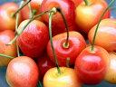 【1年間枯れ保証】【春・夏に収穫する果樹】サクランボ/南陽 15cmポット  3本セット 送料無料 【あす楽対応】
