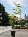 【1年間枯れ保証】【春・夏に収穫する果樹】サクランボ/南陽 15cmポット  3本セット 送料無料