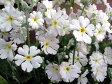 【1年間枯れ保証】【山野草】サクラソウ白花 9.0cmポット 【あす楽対応】