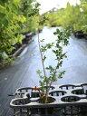【1年間枯れ保証】【シンボルツリー落葉】サルスベリ/カントリ...