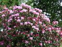 【1年間枯れ保証】【春に花が咲く木】セイヨウシャクナゲ 1.5m露地 【あす楽対応】
