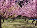 【1年間枯れ保証】【シンボルツリー落葉】サクラ/河津桜 2.0m露地 【配達指定不可/大型商品/個別