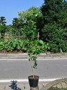 【1年間枯れ保証】【生垣樹木】ツバキ/ヤブツバキ 0.8m15cmポット 【あす楽対応】