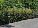 【1年間枯れ保証】【生垣樹木】トキワマンサク青葉赤花 0.7m15cmポット 【あす楽対応】