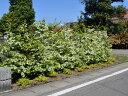 【1年間枯れ保証】【生垣樹木】トキワマンサク青葉白花 1.2m 【あす楽対応】