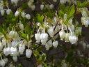【1年間枯れ保証】【春に花が咲く木】ドウダンツツジ 0.8m露地 【あす楽対応】