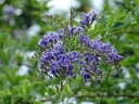 【1年間枯れ保証】【夏に花が咲く木】デュランタ 0.1m 【あす楽対応】