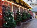 【1年間枯れ保証】【シンボルツリー常緑】ドイツトウヒ 0.5m15cmポット 【あす楽対応】