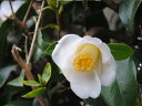 【1年間枯れ保証】【生垣樹木】ツバキ/ヤブツバキ白花 0.3m 【あす楽対応】