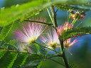 【1年間枯れ保証】【夏に花が咲く木】ネムノキ 0.3m10.5cmポット 【あす楽対応】