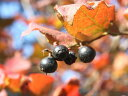 【1年間枯れ保証】【紅葉が美しい木】ナツハゼ 0.2m 【あす楽対応】