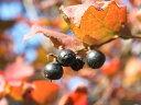 【1年間枯れ保証】【紅葉が美しい木】ナツハゼ 1.5m露地 【あす楽対応】