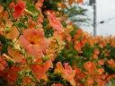 【1年間枯れ保証】【つる性】ノウゼンカズラ/オレンジ花 0.1m 【あす楽対応】