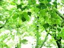 【1年間枯れ保証】【街路樹&公園樹】ナンキンハゼ 0.8m1...