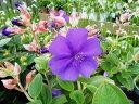【1年間枯れ保証】【夏に花が咲く木】ノボタン 0.3m 10本セット 送料無料 【あす楽対応】