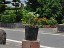 【1年間枯れ保証】【山野草】ノジギク 9.0cmポット 【あ...