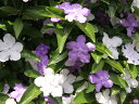 【1年間枯れ保証】【春に花が咲く木】ニオイバンマツリ 1.2m露地 【あす楽対応】...